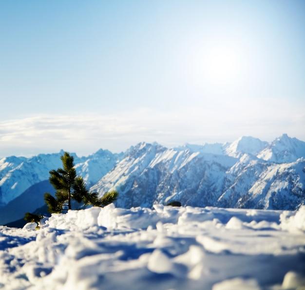 Albero di pino con le montagne innevate