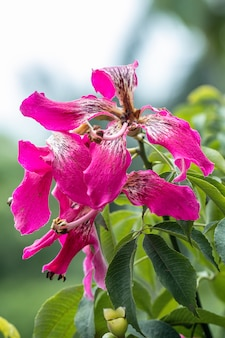 Albero di seta del filo di seta (speciosa della ceiba) in giardino.