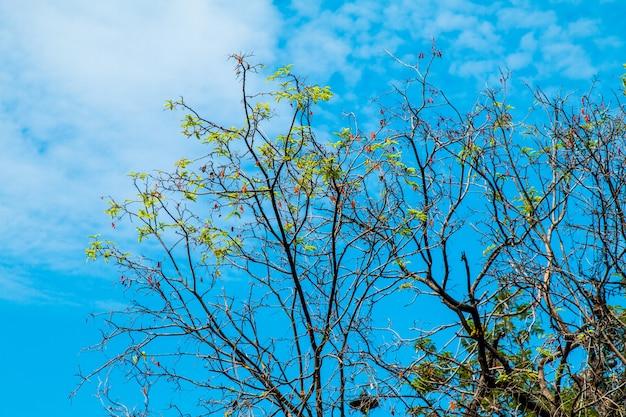 Albero di tamarindo su sfondo blu cielo