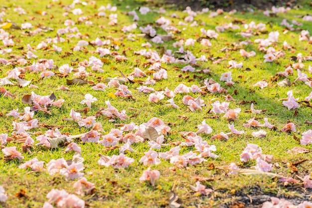 Albero di tromba rosa cadere a terra