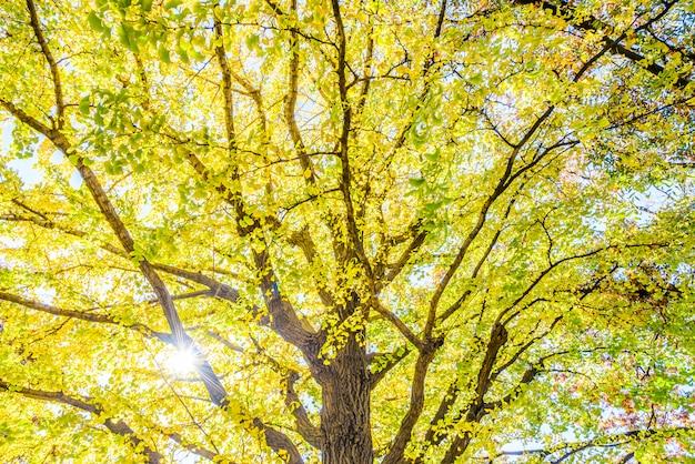 Albero giallo del ginkgo a tokyo