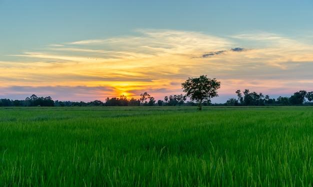 Albero in campo verde e tramonto in campagna