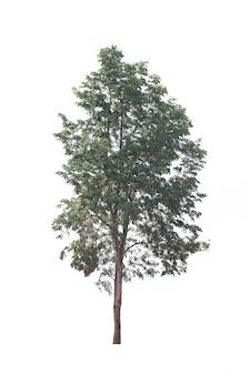 Albero isolato su sfondo bianco. albero di padauk della birmania su fondo bianco.