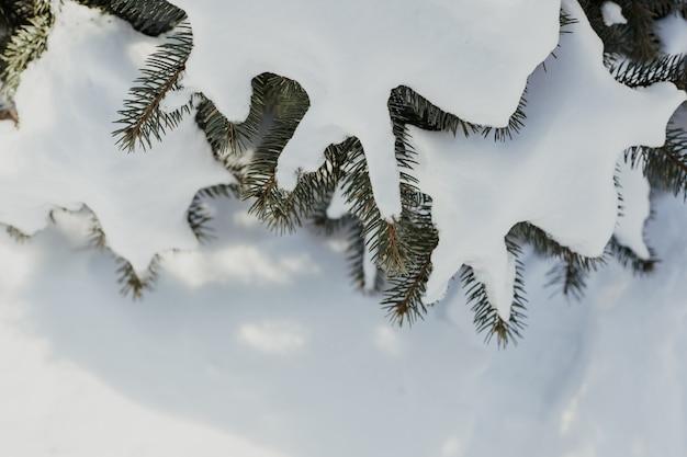 Albero naturale di inverno con i rami del pino nel fondo della neve