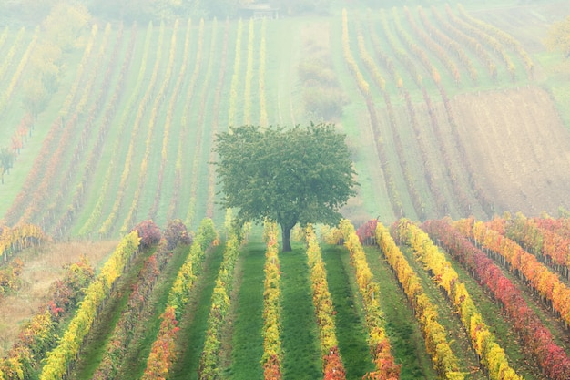 Albero solitario verde nella nebbia tra le vigne. paesaggio scenico di autunno della moravia del sud in repubblica ceca.