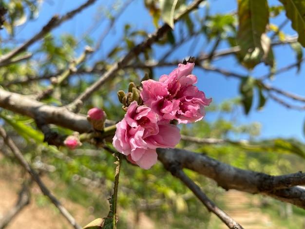 Albicocca giapponese o fiore di prugna cinese