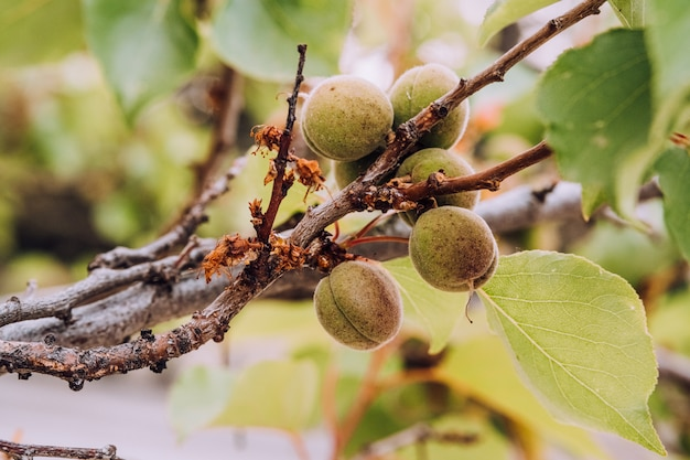 Albicocche giovani e verdi che appendono sul ramo di albero