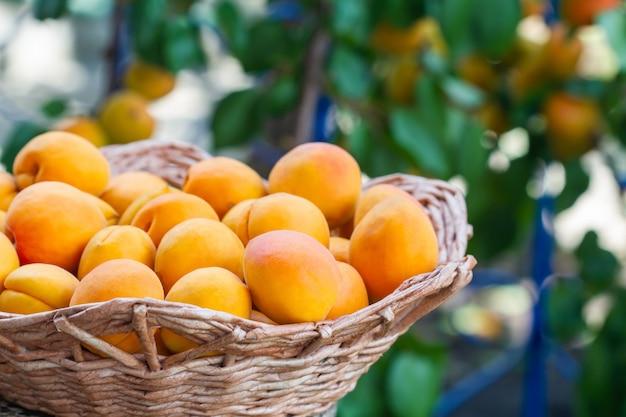Albicocche organiche fresche mature nel cestino contro l'albero di albicocca.