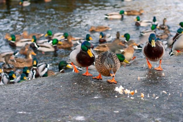 Alimentazione delle anatre selvatiche nella stagione primaverile. anatre di città sulla riva del lago.