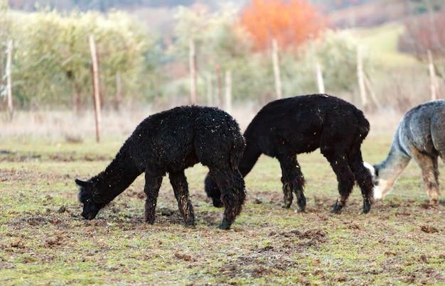 Allevamento di alpaca in toscana.