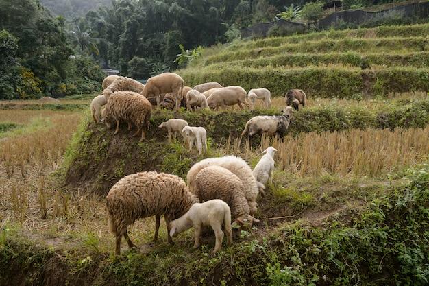Allevamento di pecore nella valle sacra, mae hong son, tailandia