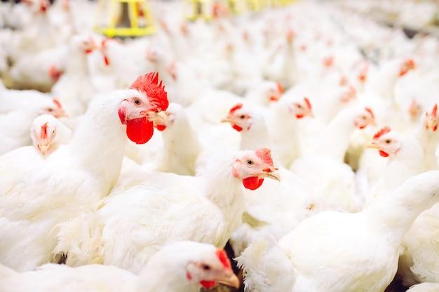 Allevamento di polli al chiuso, alimentazione del pollo