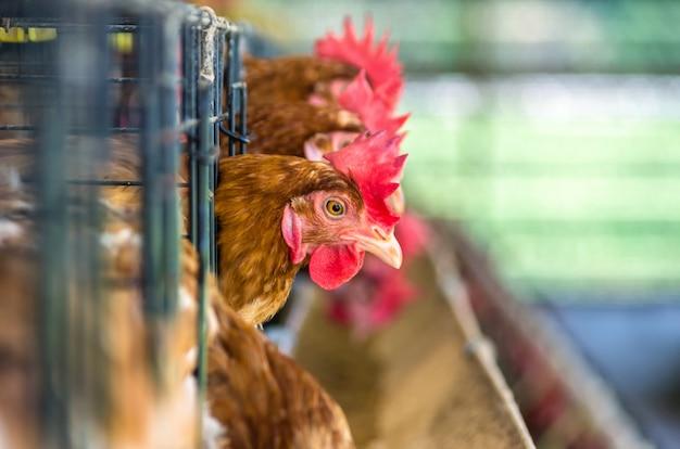 Allevamento di polli.