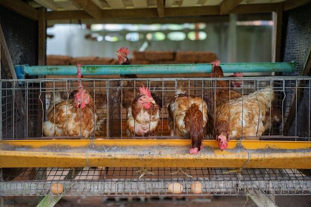 Allevamento di uova bio. gallina, uova di gallina e polli che mangiano cibo in fattoria.