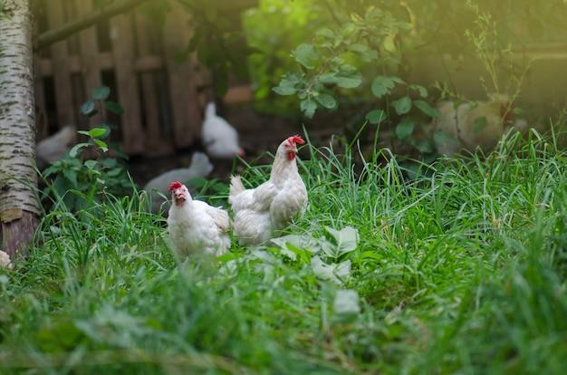 Allevamento gratuito di galline. felici galline biologiche. polli che camminano lungo l'erba verde