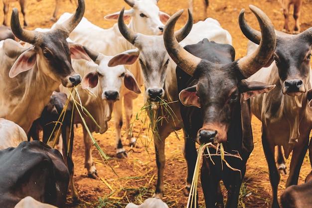 Allevamento indiano, bovini indiani