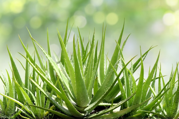 Aloe vera, foglia fresca di aloe vera nello sfondo naturale del giardino dell'azienda agricola