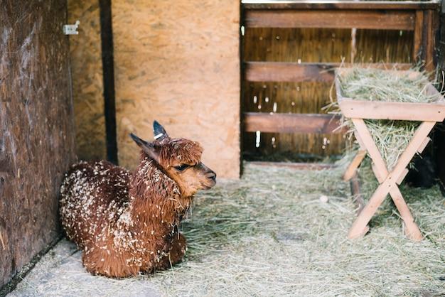 Alpaca marrone che si siede nel granaio