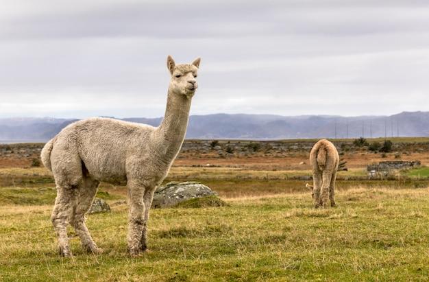 Alpacas, vicugna pacos, nello splendido paesaggio di lista, norvegia.