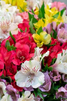 Alstrremeria è un genere di rizoma sudamericano e di piante erbacee a fioritura tuberosa