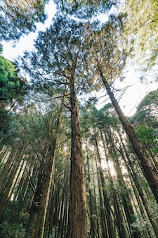 Alti alberi di cedro che guardano da sotto nella foresta in alishan national forest recreation area nella contea di chiayi, alishan township, taiwan.