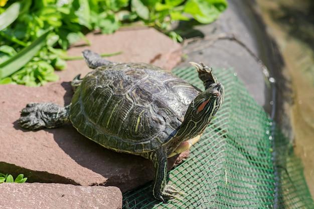 Alto vicino della tartaruga eared rossa nell'ambiente della natura
