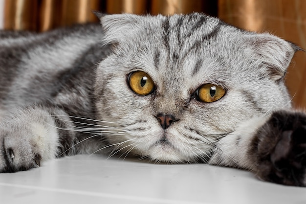 Amabile gatto piega scozzese.