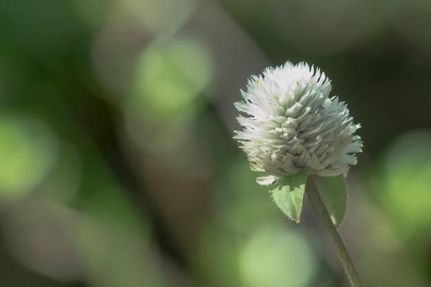 Amaranto di globo del fiore bianco sulla carta da parati sfocata dell'erba verde