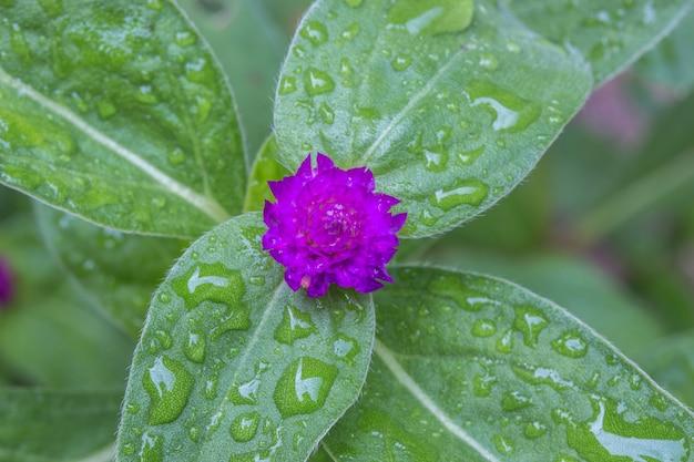 Amaranto di globo o fiore di gomphrena globosa nel giardino