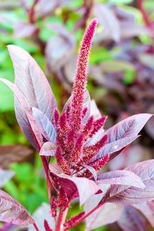 Amaranto rosso (amaranthus cruentus)