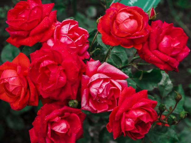 Ambiti di provenienza della rosa per il giorno di s. valentino o un'altra celebrazione, fuoco selettivo