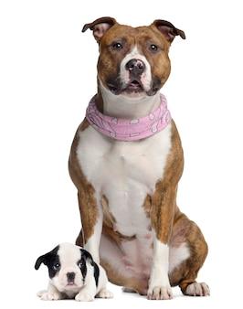 American staffordshire terrier con bandana rosa