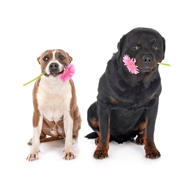 American staffordshire terrier e rottweiler davanti a uno sfondo bianco