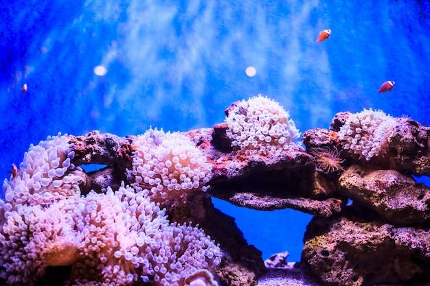 Amphiprion (pesce pagliaccio occidentale)