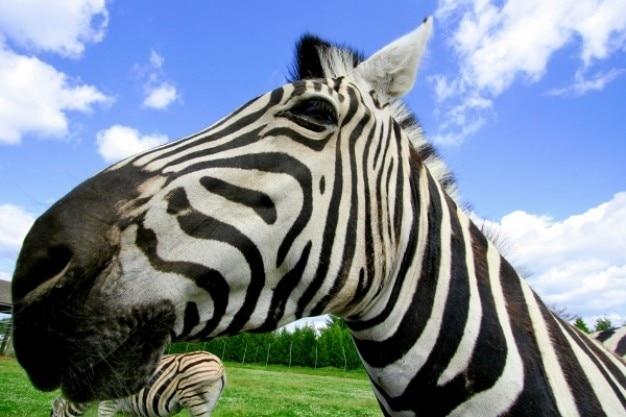 Ampio angolo di zebra