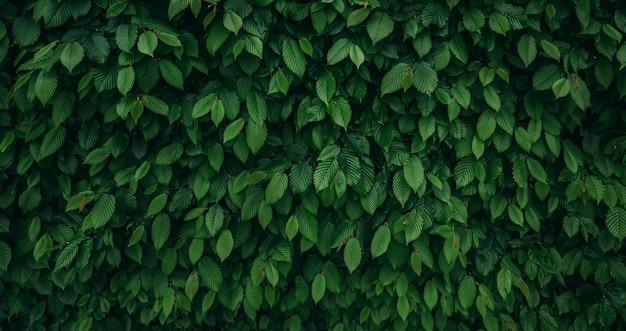 Ampio fondo della parete naturale verde scuro con lo spazio della copia