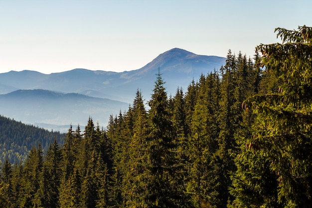 Ampio panorama delle colline verdi della montagna in bel tempo soleggiato. paesaggio delle montagne carpatiche in estate. vista delle cime rocciose ricoperte di pini verdi. bellezza della natura.
