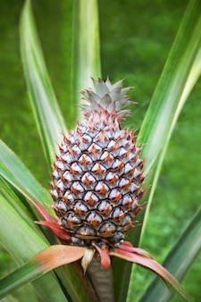 Ananas in campo