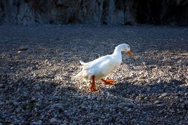 Anatra bianca che cammina su una spiaggia di ciottoli