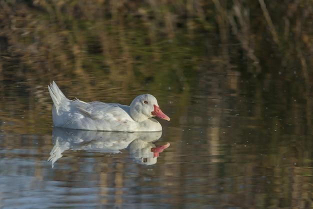 Anatra comune bianca che nuota tranquillamente in una piccola laguna