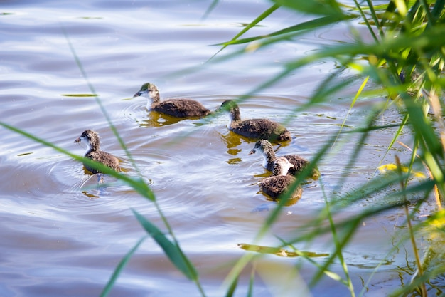 Anatra con anatroccoli sul fiume