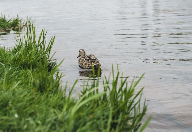 Anatra rara che nuota. anatra marrone sull'acqua. uccello acquatico sveglio. anatra marrone-bianca sul lago. uccello selvatico in natura. animale raro. bella anatra selvatica sul lough.