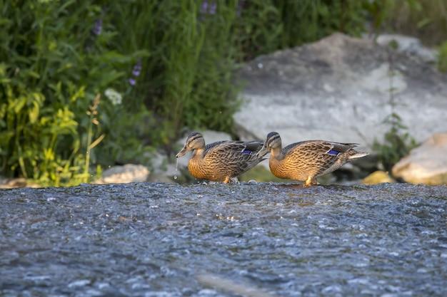 Anatre che camminano nell'acqua del fiume