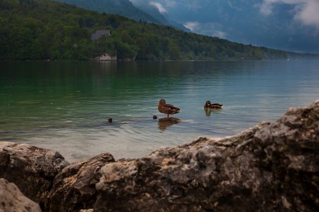 Anatre nel lago bohinj