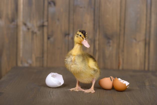 Anatroccolo e coperture neonati delle uova