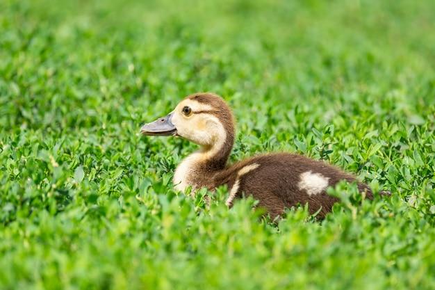 Anatroccolo sull'erba