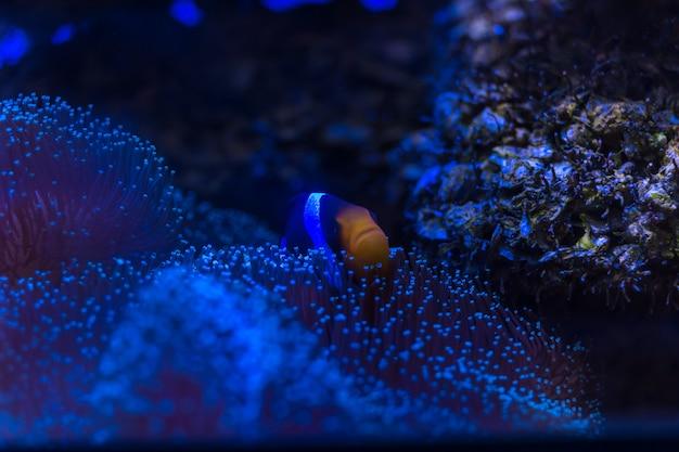 Anemonefish di clark, pesce pagliaccio di coda gialla