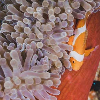 Anemonefish di pagliaccio