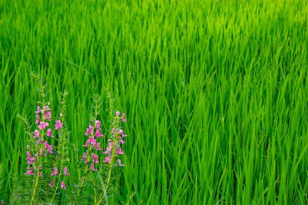 Angelonia goyazensis benth sul campo di riso.