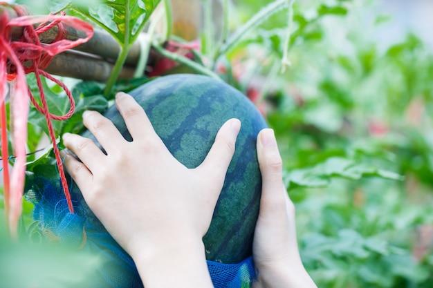 Anguria matura di raccolto della mano della donna nell'azienda agricola del giardino